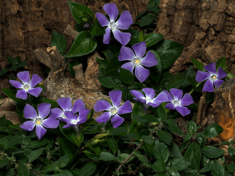 Vinca Minor And Fluoric Acid For Hair Loss
